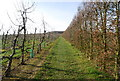 TQ6941 : High Weald Landscape Trail through orchards by N Chadwick