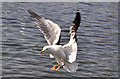 ST1769 : Lesser Black-backed Gull - Cosmeston Lakes : Week 16