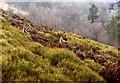SJ9865 : Wallabies above Lud's Church, Castle Rocks in the background by Geoff Billington