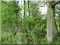 ST7759 : Woodland field boundary by Dr Duncan Pepper