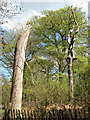 SJ8577 : Dead trees at Alderley Edge by Stephen Craven