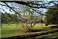 TQ8110 : Coppiced tree, Alexandra Park by N Chadwick