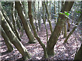 SP1096 : Holly thicket, Holly Hurst, Sutton Park by Robin Stott