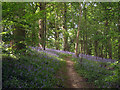 TQ6441 : Bluebell Wood by Oast House Archive