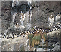 J4898 : Guillemots and Kittiwakes at The Gobbins by Rossographer