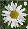 SJ7965 : Ox-eye Daisy flower by Seo Mise