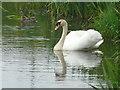 ND2373 : Mute Swan on Ham mill pond : Week 24