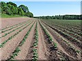Dist:0.5km<br/>Potatoes growing beside the Whiteadder Water near Chirnside.