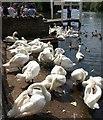 SU9677 : Swans at Windsor : Week 24
