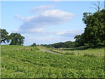 SJ5944 : Maize field near Combermere Abbey by David Lewis