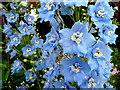 SO6424 : Sky Blue Delphinium by Jonathan Billinger