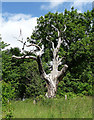 TQ3864 : Dead tree, West Wickham by Stephen Richards