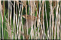 ST0366 : Reed Warbler - East Aberthaw by Mick Lobb