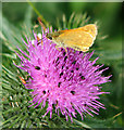 TM4791 : Small Skipper (Thymelicus sylvestris) on thistle flower by Evelyn Simak