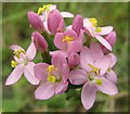 SJ7965 : Flowers of the Common Centaury by Seo Mise