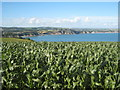 SX0349 : Field of maize near Castle Gotha Farm by Rod Allday