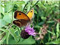 SE3209 : Gatekeeper Butterfly on Knapweed by John Fielding