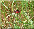 TQ4062 : Cinnabar Moth near Leaves Green by Stephen Richards