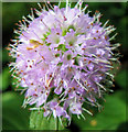 SJ7964 : Flower of the Water Mint by Seo Mise