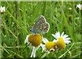 SE3111 : Female Common Blue Butterfly by John Fielding
