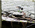 TL8682 : St Mary the Less in Thetford - pigeons colonising collapsed roof : Week 33