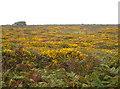 SW4635 : Heathland flora on Carnaquidden Downs by Rod Allday