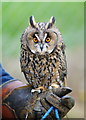 TQ3643 : Long-eared Owl at the British Wildlife Centre, Newchapel, Surrey by Peter Trimming