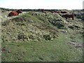SW6912 : Red Devon cattle above the cliffs of Caerthillion Cove by Jeremy Bolwell