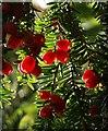 SX8754 : Yew berries, Greenway : Week 41