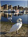 SJ3488 : Marina swans, Liverpool : Week 43