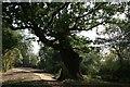 SP6816 : The Wotton Oak, Wotton House, Wotton Underwood by Rob Dixon