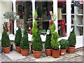 SY6990 : Topiary pots - Antelope Walk : Week 1