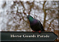 TQ2979 : Pigeon's Parade : Week 3