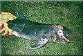 HP6312 : Stillborn Risso's Dolphin (Grampus griseus) calf, Haroldswick by Mike Pennington