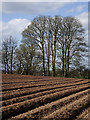 SJ7500 : A Shropshire potato field south of Beckbury : Week 12