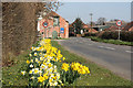 Dist:0.4km<br/>Roadside daffs on Village Street in Sedgebrook