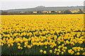 SW6635 : View across daffodils to Crowan Beacon by Elizabeth Scott