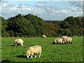 SP8909 : Field north of Wendover Woods by Trevor Littlewood