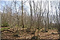 TQ7811 : Coppiced trees, Church Wood by N Chadwick