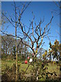 SW9248 : Dead tree beside the lay-by at Trevolland by Rod Allday