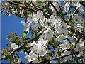 TQ6331 : Cherry Blossom : Week 15