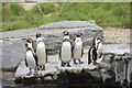 SJ4170 : Humboldt Penguins, Chester Zoo by Bill Harrison