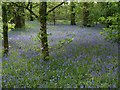 SX0864 : Bluebells in The Belts by Derek Harper