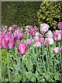 TQ8332 : Tulips at Hole Park by Oast House Archive