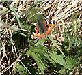 NN9108 : Small Tortoiseshell by Martin Addison