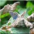 TG1043 : Common Blue Butterfly (Polyommatus icarus) by Evelyn Simak