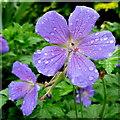 SO6424 : Geranium 'Johnson's Blue' : Week 19