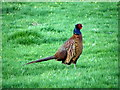 SE0399 : Pheasant (Phasianus colchicus) by Miss Steel