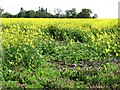 NS8988 : Oilseed rape near Airth by Richard Webb