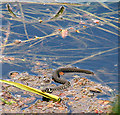 TG1807 : Young grass snake in the River Yare : Week 20
